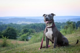 Smiling gray dog sits on top of scenic hillside